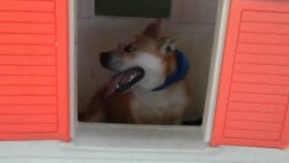 Monty - Handsome English Bulldog / Corgi Mix Loves To Hang Out In Playhouse Needs Home