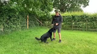 Puma Family Protection Dog early training