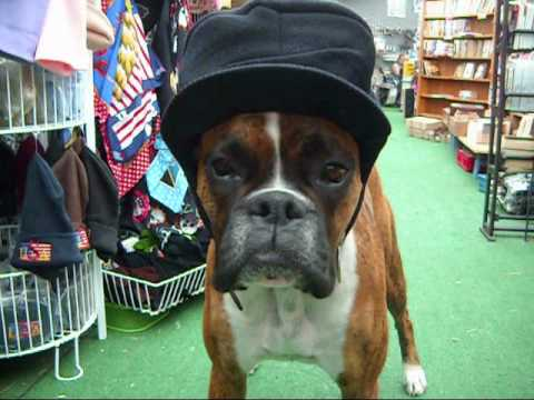 Silly Boxer Dog Videos