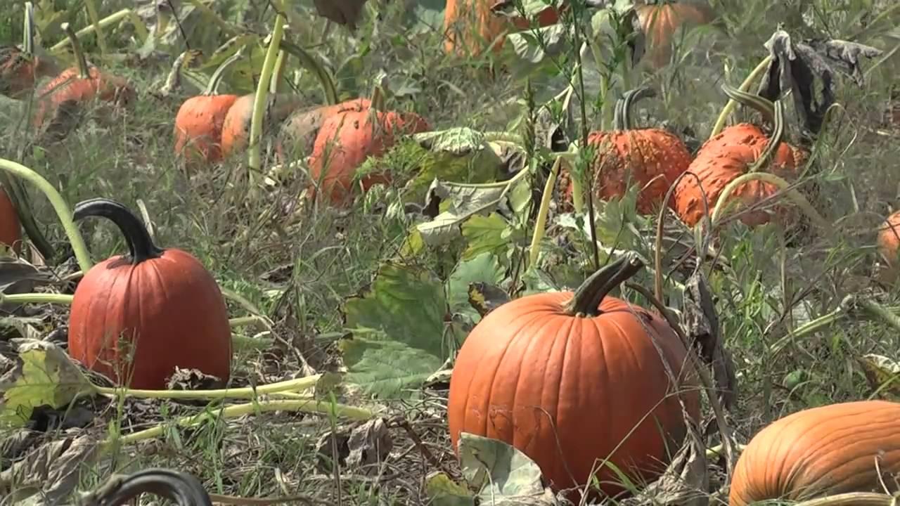 How to store pumpkins - How To Store Pumpkins 0