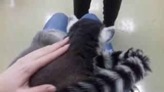 Кошачий лемур (катта)