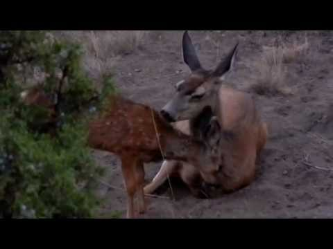 Deer and fawn cuddling and cleaning soooo cute