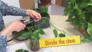How to grow Epipremnum aureum - money plant