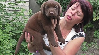 ЩЕНОК ЛАБРАДОРА Шоколадного Окраса. For sale labrador puppy chocolate color.Одесса.