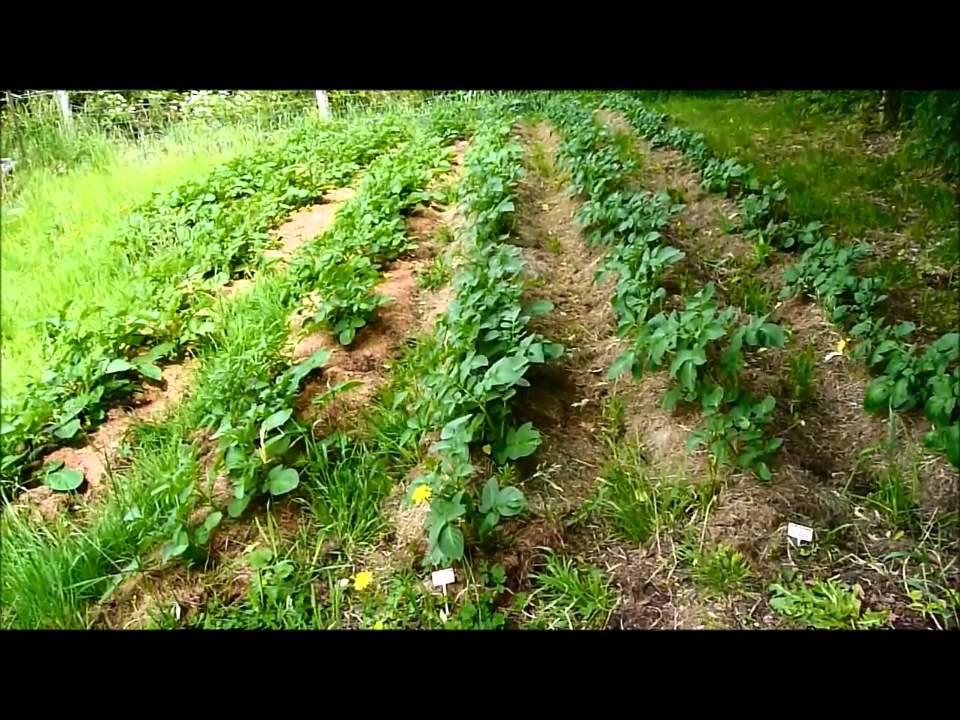 Culture de pommes de terre sur prairie sans labour youtube - Quand planter de la pelouse ...