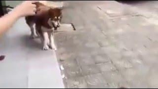 [Troll động vật] Poodle troll Husky