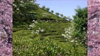 Green Tea Plantation in Boseong Korea | Tea Pursuit