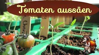 Tomaten aussäen │ Tomaten vorziehen │ Anzucht mit Tomatensamen