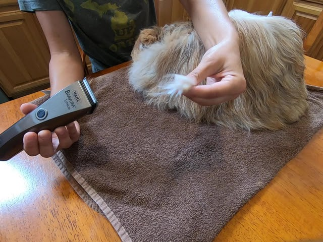 Using clippers to trim the ear wool