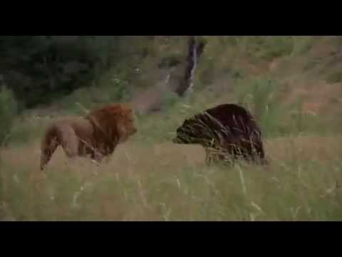 Lion vs Bear Fight from YouTube · Duration:  57 seconds