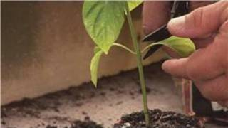 Pepper Plants : How to Prune Pepper Plants