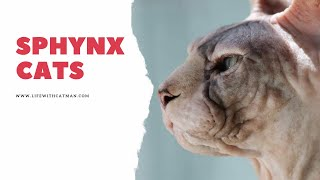 Are Sphynx cats friendly and other facts about them
