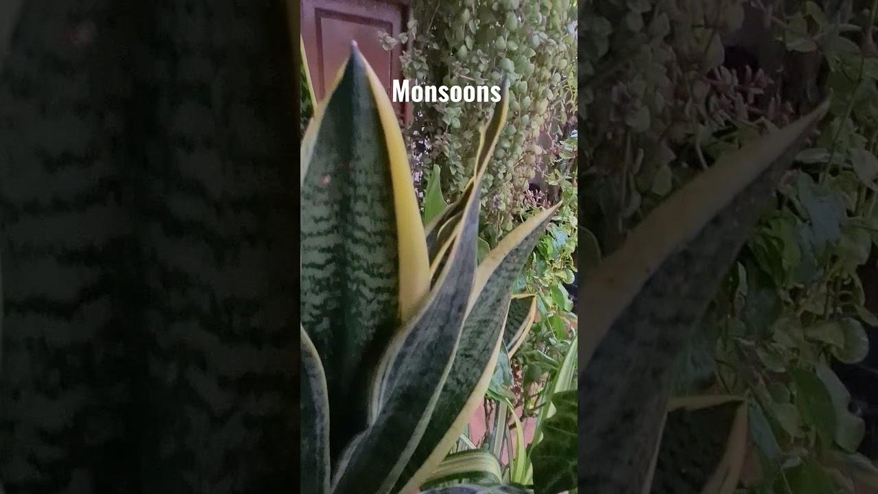Hearty Welcome Monsoons.../ #madgardener #gardening #Terracegarden  #organicgarden