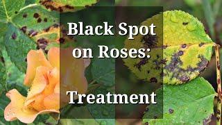 Black Spot Roses Treatment