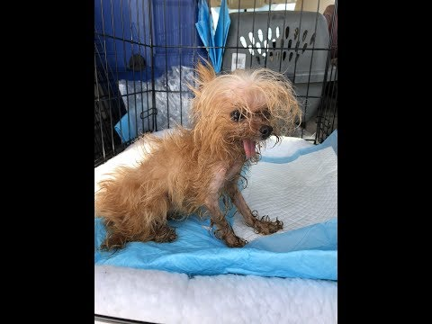 Another Puppy Mill shut down by Florida Yorkie Rescue