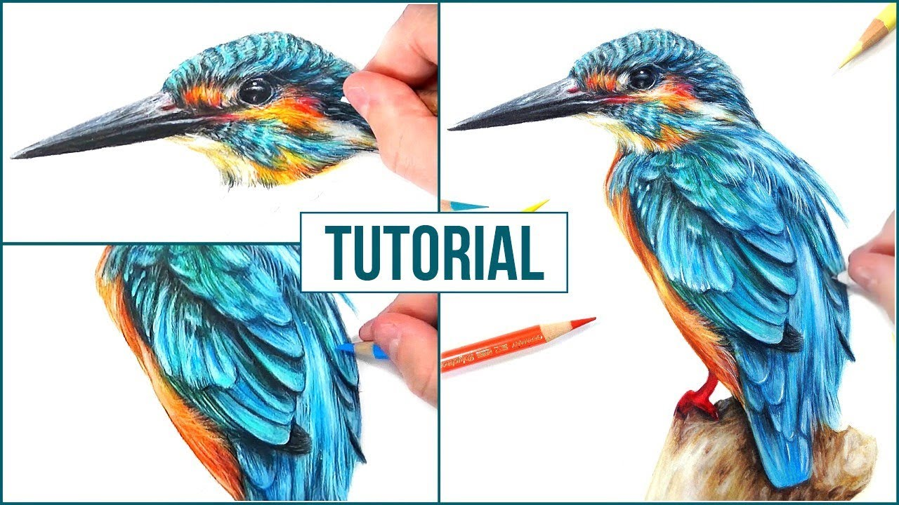 How to draw a realistic bird using coloured pencils step by step drawing tutorial
