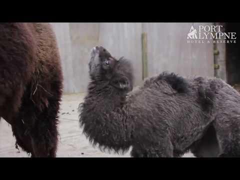 Suprise baby Bactrian camel born at Port Lympne Hotel & Reserve