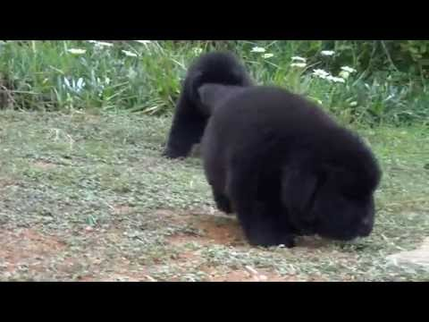 Newfoundland puppies available for show homes of Catowild kirus Simha kennels INDIA