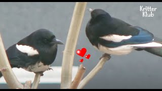 Please don't forget to hit the CC button for Subtitles* This Magpie couple used to have a sweet home(nest), but one day, their own nest was removed while ...