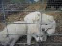 Finnish Lapphund Puppies (6 weeks)
