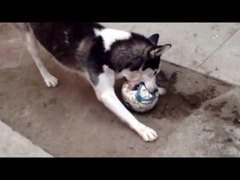 Husky pops soccer ball
