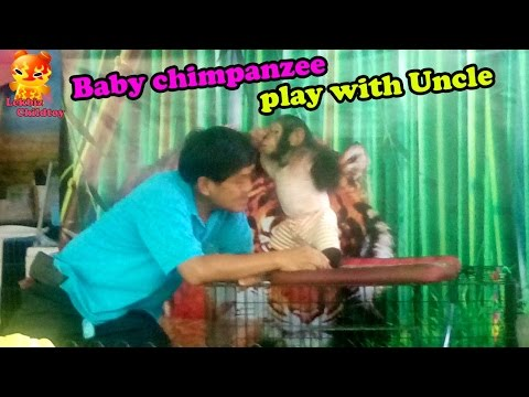 Baby Chimpanzee Play With Uncle  @Samutprakarn Zoo