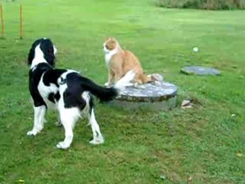 Rudi, English Springer Spaniel, plays with Alf, the Cat