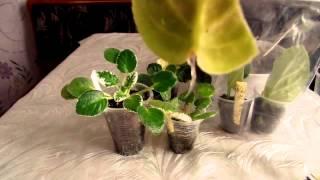 Копия видео как укоренить в воде лист фиалки(укоренение фиалки в воде., 2015-05-31T14:11:40.000Z)