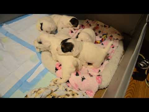 4 week old sealyham terrier puppies