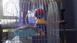Попугай сношает колокольчик