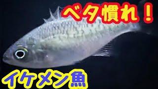 【珍魚?】沖縄などに居るイケメンな魚を紹介!オオクチユゴイ