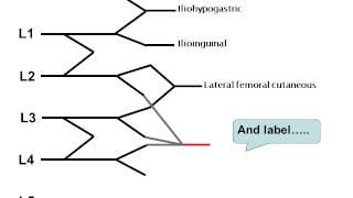 How to draw the lumbar plexus