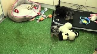 Little Rascals Uk Breeders New Litter Of Morkie Babies