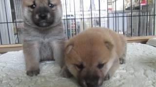 両親豆柴認定犬5月19日生まれ兄妹 備前桜山荘.