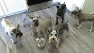 Life With 6 Schnauzers 8-16-19 |  Dog Mom Life