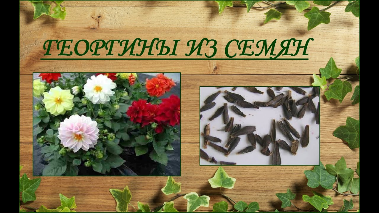 Семена георгинов