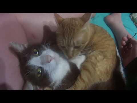 発情猫、綿棒で発散させて沈静化をはかるDivergence with an estrus cat, cotton bud to calm down