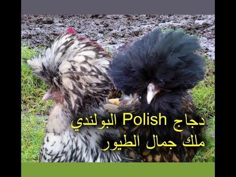 Twelve Utterly Bizarre Chicken Breeds Silkie