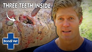 Vet Removes 3 TEETH That Got Trapped In Crocs Mouth | Bondi Vet
