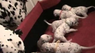 Dalipasha Kennel - The Most Beautiful Dalmatian Pups Sporting First Spots