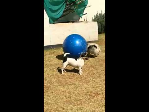 Cute puppies chasing a ball