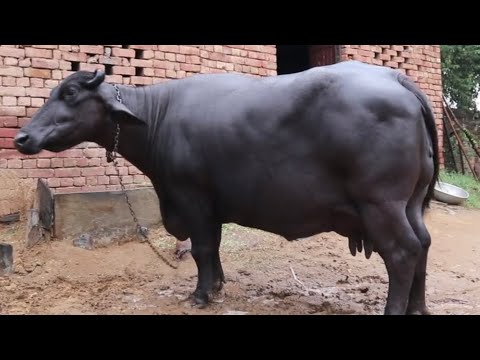 Beautiful Animals at a Farmer's Home at Rewari