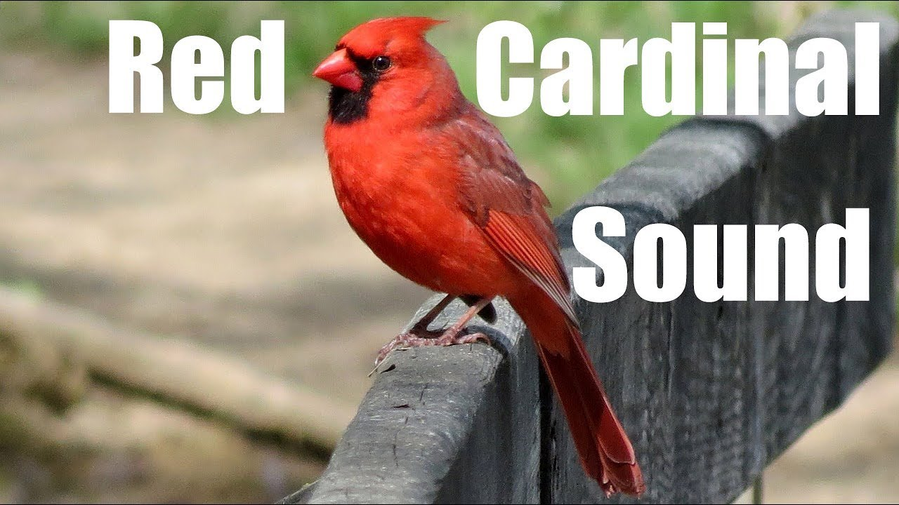 Red Cardinal Sound Effect
