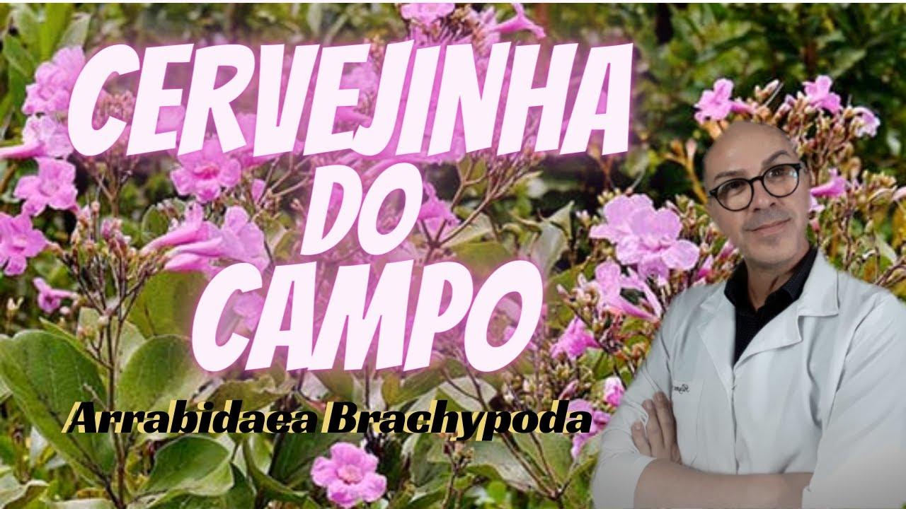 As Ervas e seus Benefícios - CERVEJINHA DO CAMPO |PEDRAS NOS RINS |FÍGADO |DORES |PRESSÃO |D.CHAGAS