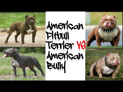 American Pitbull Terrier VS American Bully!!!!!
