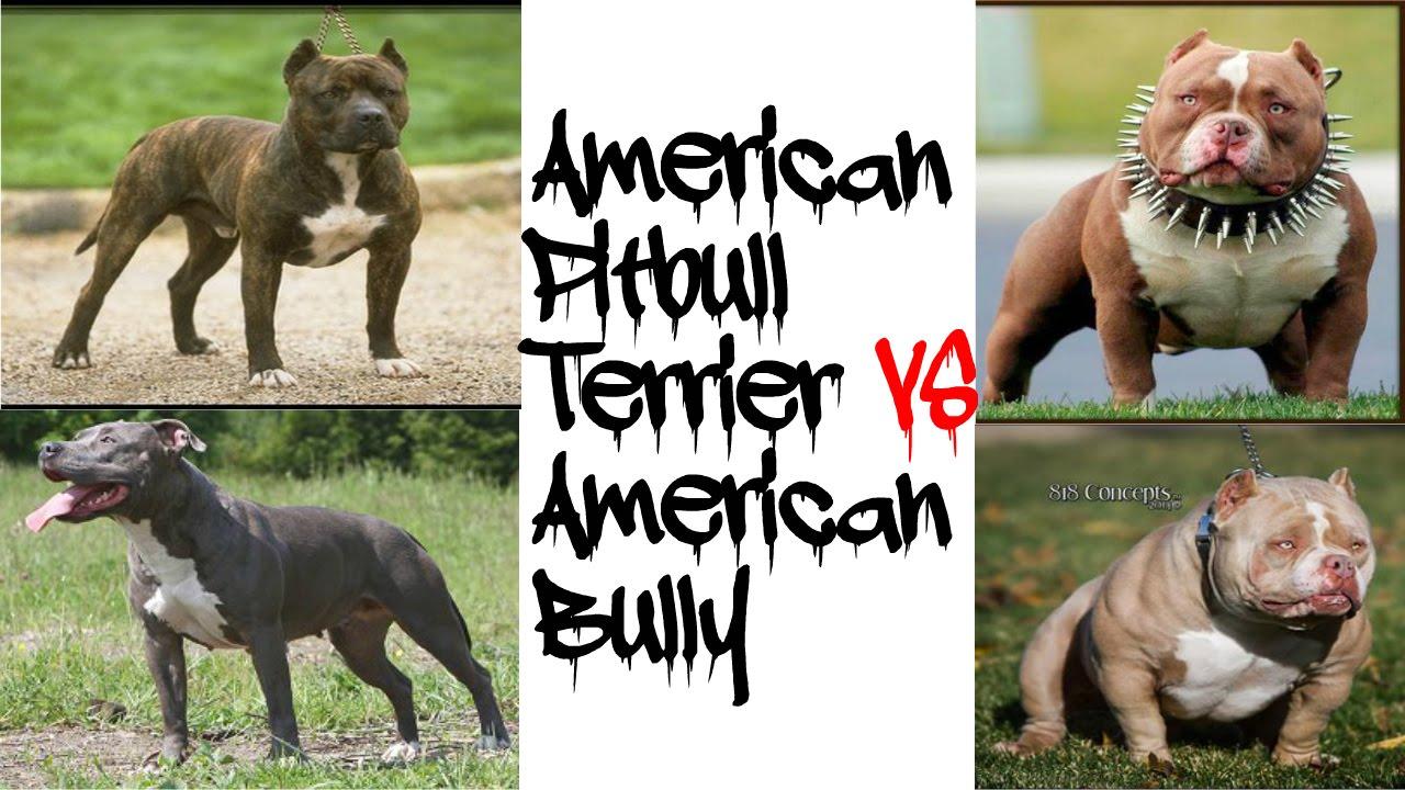 American Pitbull Terrier VS American Bully!!!!! - YouTube