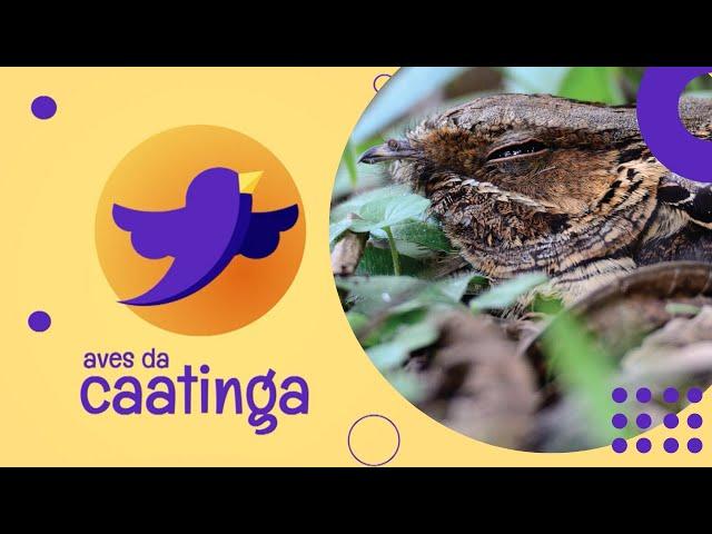 AVES DA CAATINGA #02 - Bacurau