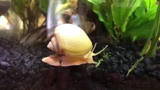 Socrates II, Mystery Snail, An Elegant Ballet thumbnail