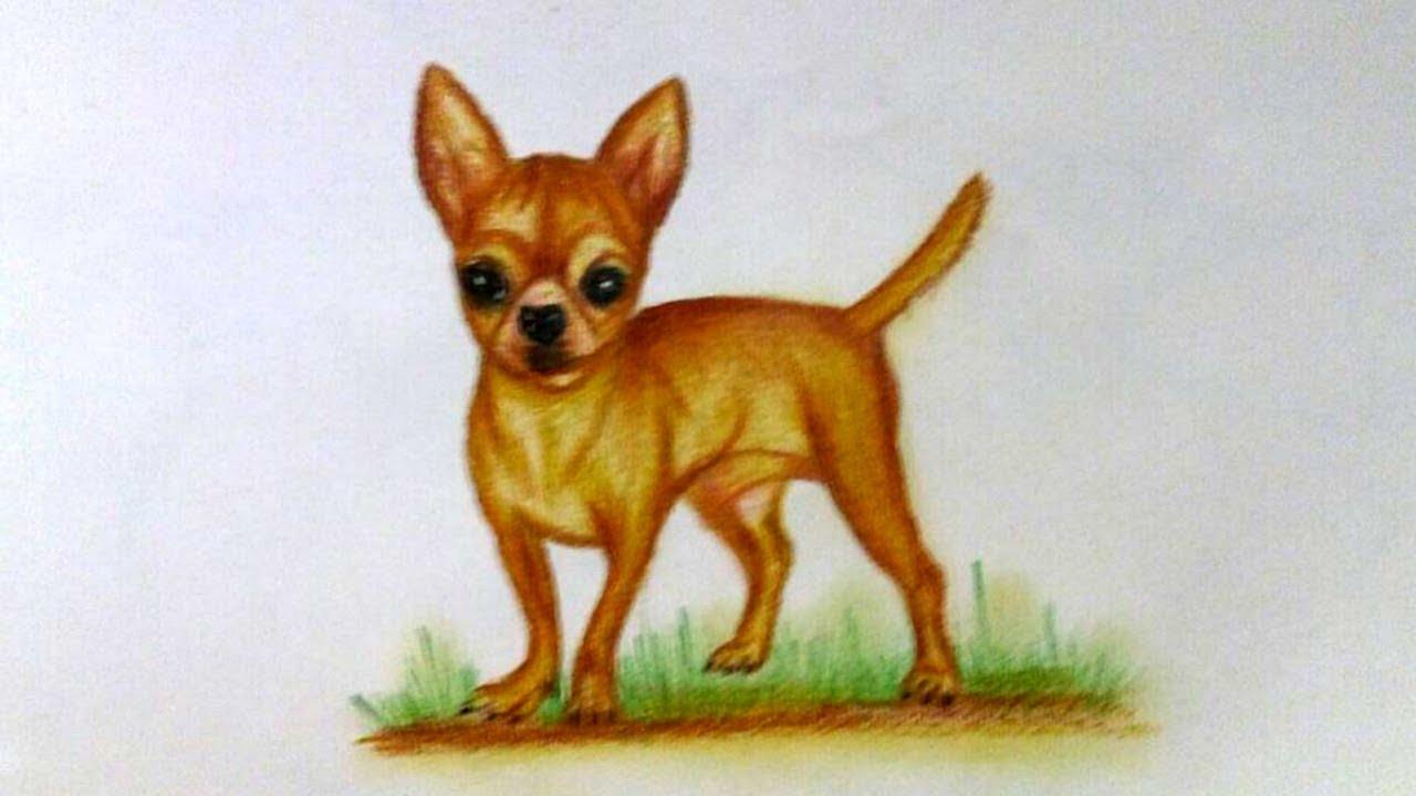 Dibujo De Chihuahua: Drawing Chihuahua - How To Draw A Chihuahua