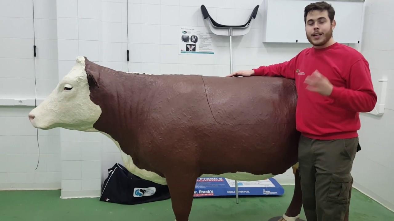 que es la cetosis en bovinos